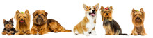 Dog Breed Yorkshire Terrier And Welsh Corgi On A White Background