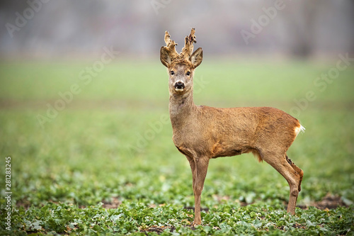 Foto op Plexiglas Ree Low angle view of roe deer, capreolus capreolus, buck with antlers shedding from velvet in winter with copy space. Curious alerted wild animal in winter.