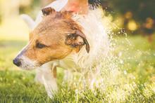 Dog Washing Under Garden Hose At Hot Summer Day