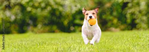 Photo Small happy dog playing with pet toy ball at backyard lawn (panoramic crop with