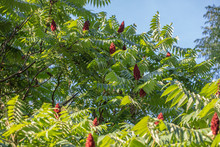Sumac Tree With Leaves And Sky