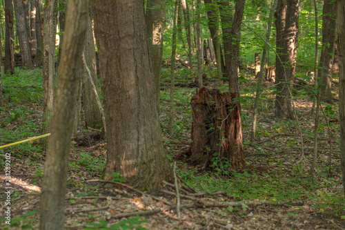 trees in the forest with stump