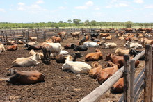 Cattle At A Feedlot .Feedlot C...