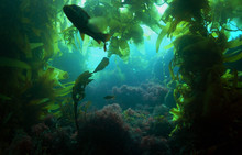 A Silhouetted Calico Bass In A Kelp Forest Off Of Catalina Island, California.