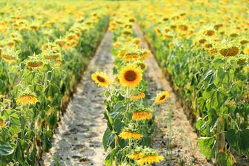 Pole słoneczników pod słońce, pole, rządki.