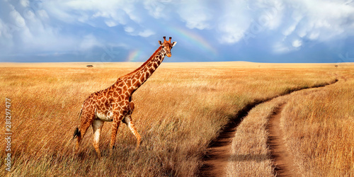 A lonely beautiful giraffe in the hot African savanna against the blue sky with a rainbow. Serengeti National Park. Tanzania. Wildlife of Africa. Wide format.