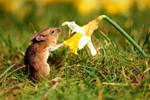 Mouse And Daffodil