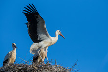 White Storks At Nest