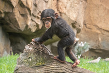 Baby Chimpanzee (Pan Troglodytes), A Great Ape Native To The Forests And Savannahs Of Tropical Africa., And Humans' Closest Living Relatives.