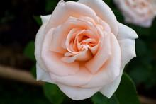 Beautiful Creamy Peach Colored...