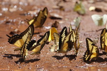 Many Yellow And Black Pieridae Butterflies Gathering Water On Floor Mud. Butterflies Are Feeding Mineral In Salt Marsh In Forest. Brazil. Iguasu Falls