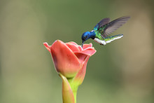 White-necked Jacobin Flying Drinking Nectar From Pink Flower