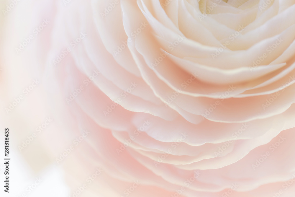 Fototapety, obrazy: Beautiful soft tender background of cream ranunculus flower petals close