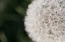 Close Up Of A Dew Speckled Dandelion.