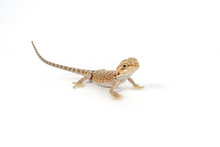 Baby Bearded Dragon On A White...