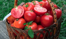 Tomatoes Basket. Basket Of Freshly Picked Tomatoes On Green Grass Background