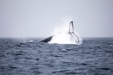 Humpback Whale Tail On Surface