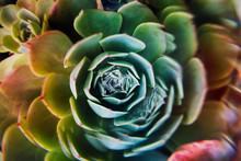 Close-up Of A Multi-colored Echeveria Succulent