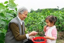 Girl With Her Grandmother Eating Mulberry In Garden