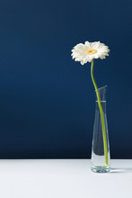 Tall White Gerbera In Glass Vase On White Table With Blue Wall Background. Elegant Simple Design With Copy Space For Invitations, Postcards, Quotes, Blogs, Posters, Flyers, Banners, Webs, Prints