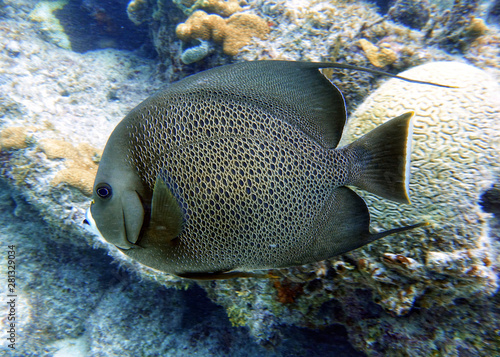 French Angelfish swimming in the ocean. Canvas Print