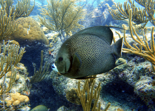 Grey Angelfish swimming in the ocean. Wallpaper Mural