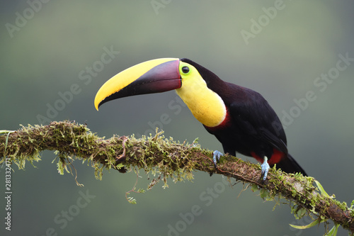 Tuinposter Toekan Yellow-throated toucan sitting on moss branch