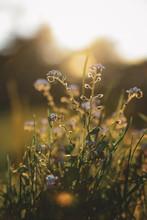 Little Purple Flowers In The Golden Sunlight