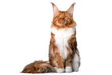 Big Maine Coon Cat Sitting In Studio On White Background. Isolated.