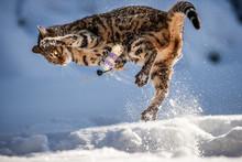 Bengal Going Wild In Deep Snow
