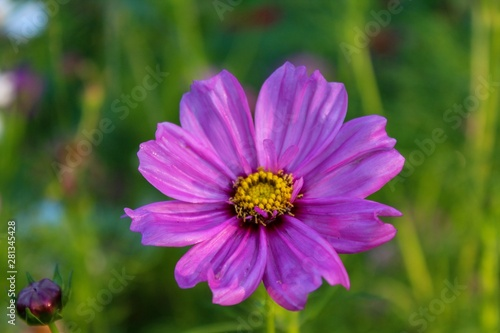 Poster Nature Pretty Purple Cosmos Closeup with Bokeh Background