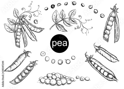 Vászonkép Detailed hand drawn ink black and white illustration set of pea pods and peas, flowers