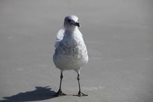 Seagull On Atlantic Coast Of F...