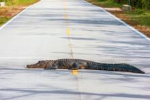 American Alligator Lying Acros...