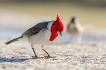 Cardinal Red Head