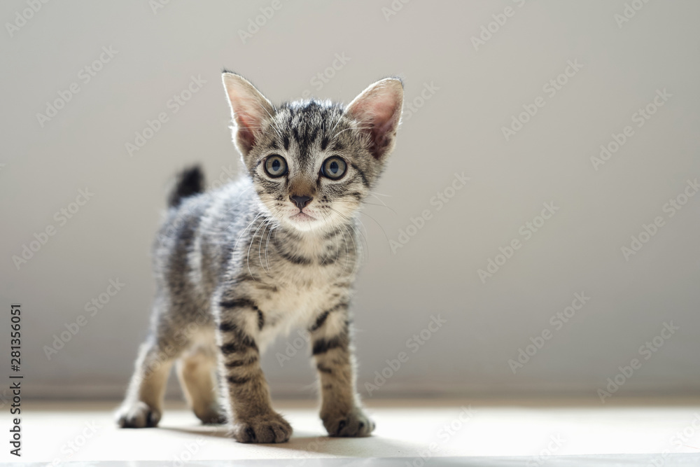 Fototapety, obrazy: cute cat standing in room and mornig light