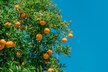 Fresh Orange Tree With Blue Sk...