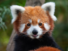 Endangered Red Panda In Captiv...