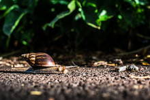 Hawaiian Snail Crawling On The Paved Road In The Background Of Green Leaves