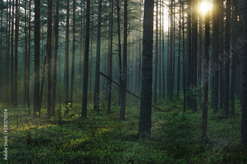 Landscape of the morning forest, with bright sunshine passing through tall pines