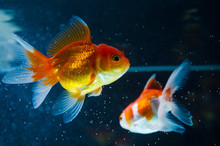 Goldfish Nature Beautiful Fish...