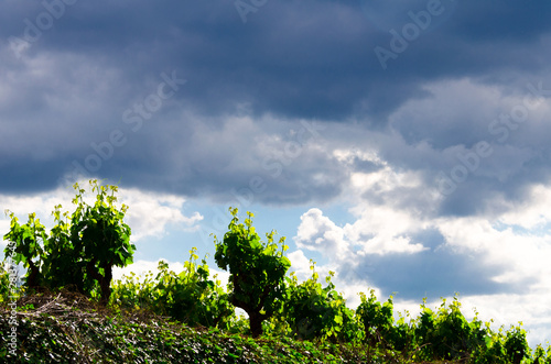Photo Anoia vineyards, Barcelona in the month of May
