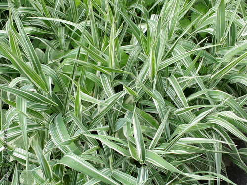 Fototapeta Decorative grass evergreen sedge with white and green striped foliage