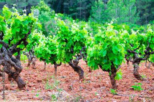 Anoia vineyards, Barcelona in the month of May Canvas Print