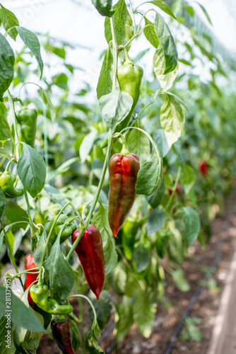 Fotomural  Organic plantation with growing red capi peppers ready to harvest, close-up view