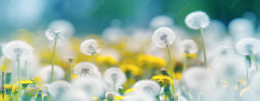 Fototapety, obrazy: Field with dandelions and blue sky