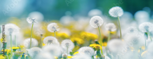 Obraz Field with dandelions and blue sky - fototapety do salonu