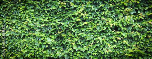Haie de Charme \ Carpinus Betulus Tableau sur Toile