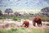A family of red elephants on their trek through the savanna