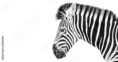 Fototapeta Burchells Zebra on a white background obraz